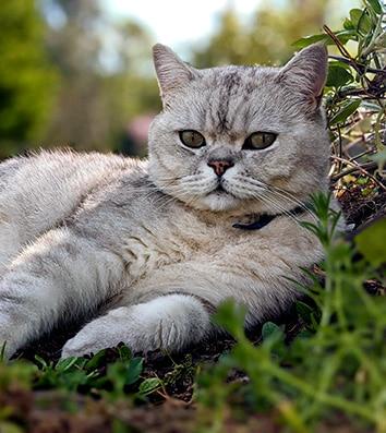 Moka, British Shorthair