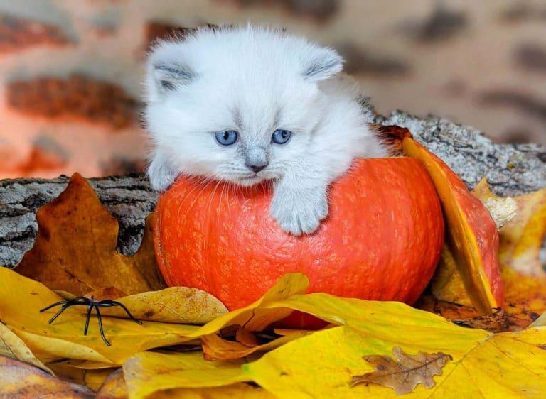 Un chaton dans une citrouille
