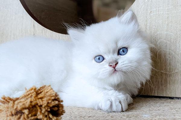 British Longhair blanc aux yeux bleus