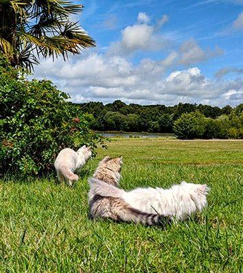 Nos chats British dans le jardin